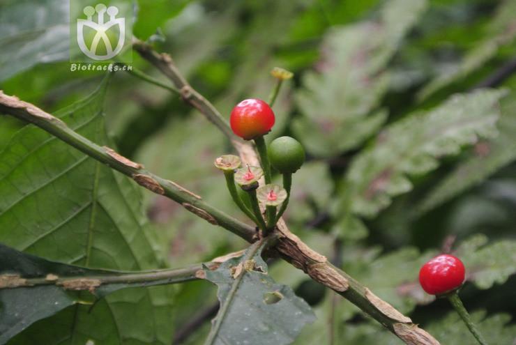 Solanum neesianum