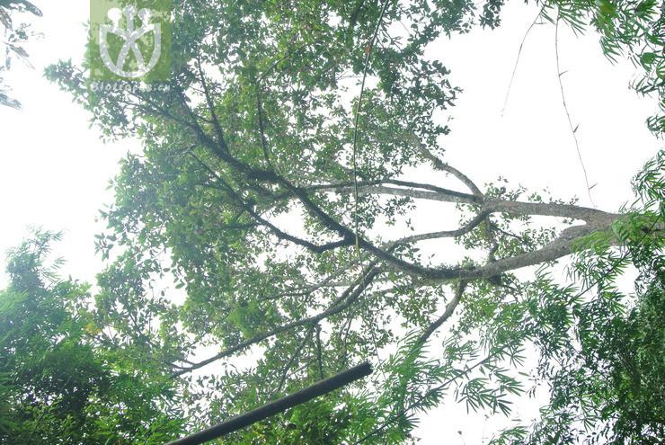 Dipterocarpus gracilis