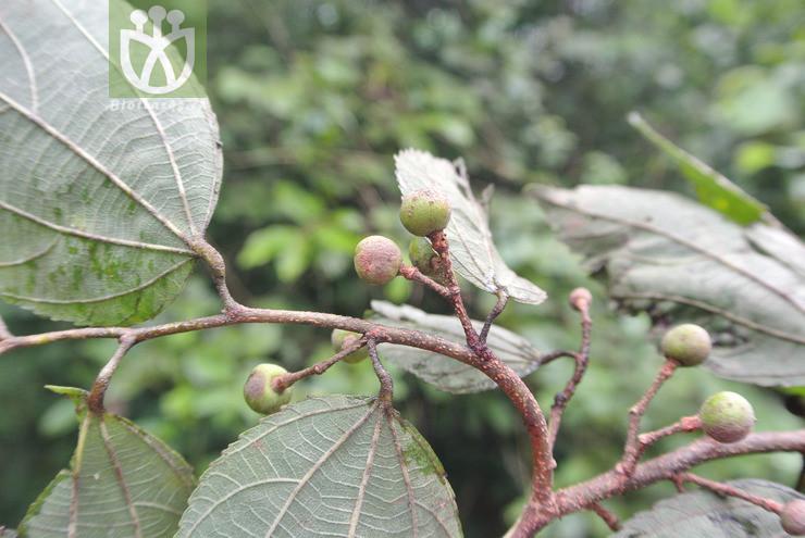 Grewia celtidifolia