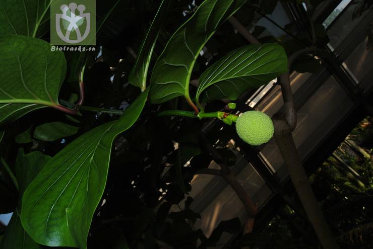 Sarcocephalus latifolius
