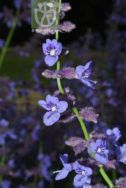 Perovskia scrophulariifolia