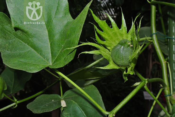 Gossypium barbadense