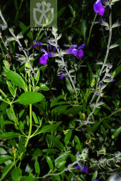 Salvia coahuilensis