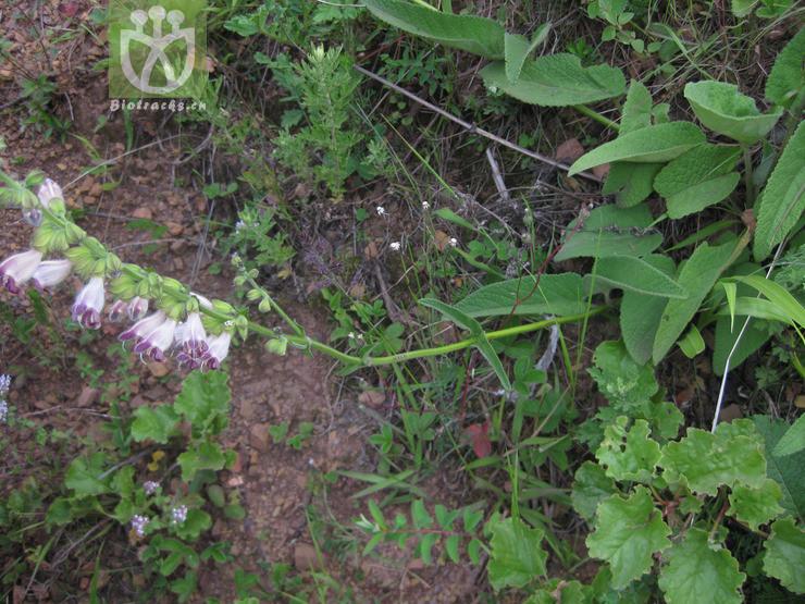 Salvia castanea f. pubescens