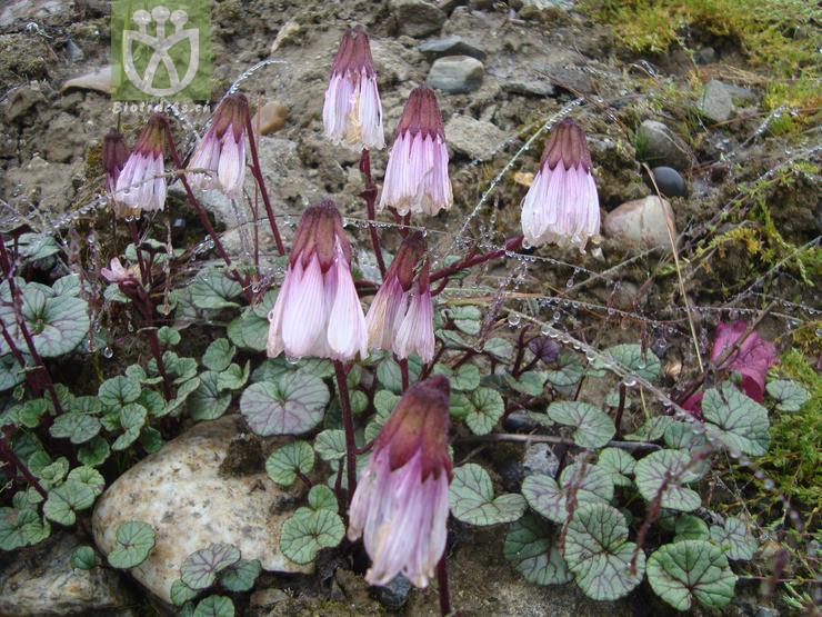 Cremanthodium rhodocephalum
