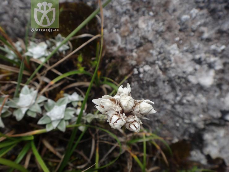 Anaphalis viridis