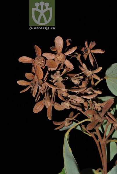 Kydia calycina