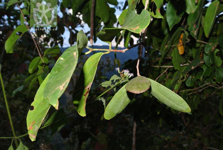 Pristimera cambodiana