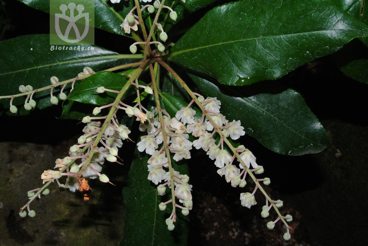 Clethra arborea