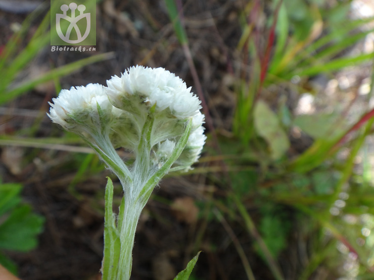 Anaphalis busua