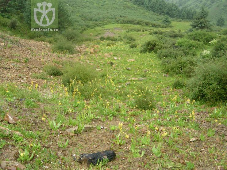 Cremanthodium stenactinium