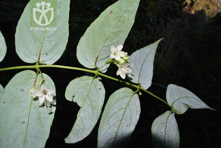 Leycesteria gracilis