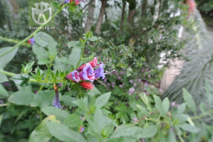Echium stenosiphon
