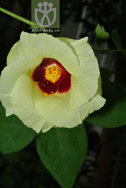 Gossypium herbaceum