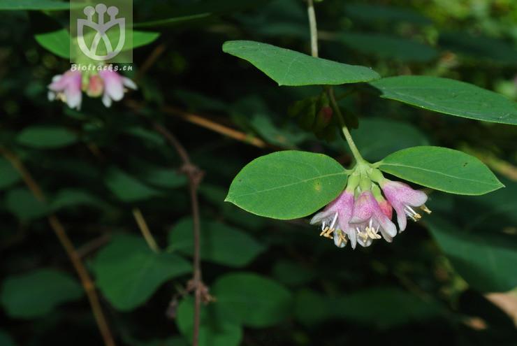 Symphoricarpos albus