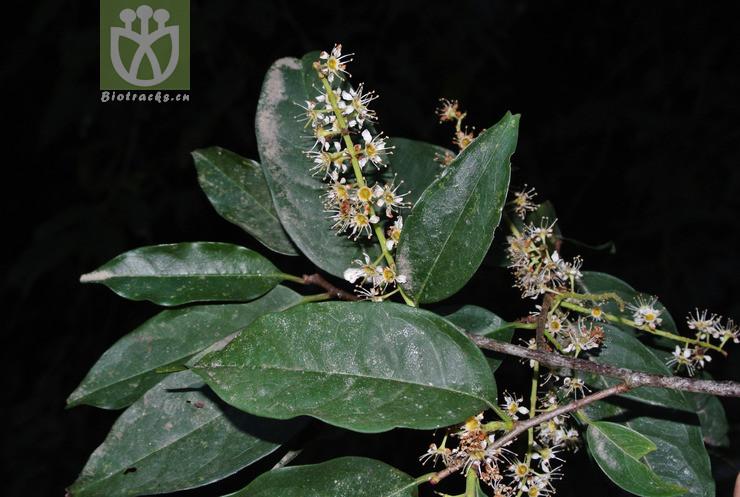 Laurocerasus undulata