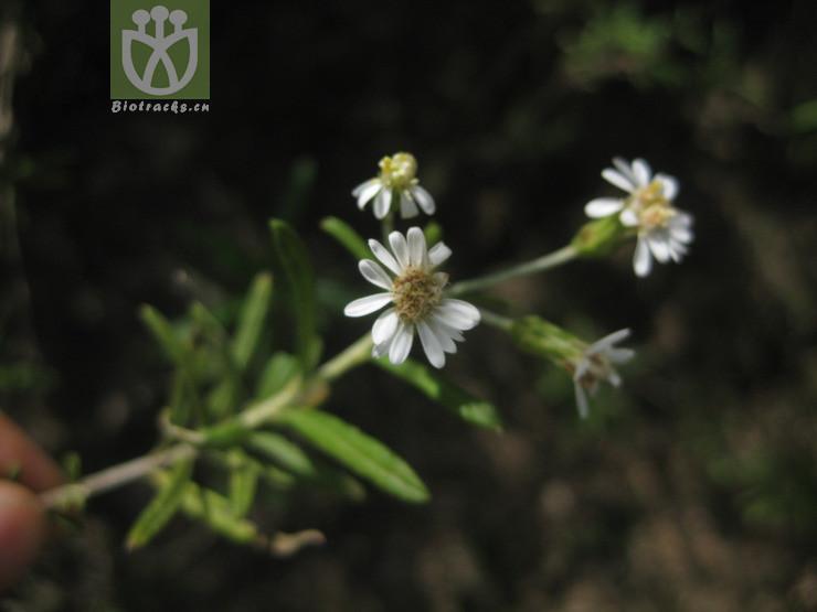 Aster lavandulifolius