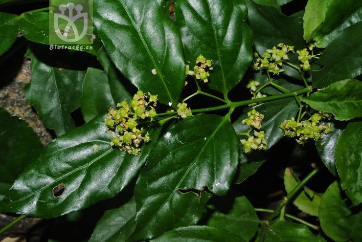 Euonymus lucidus