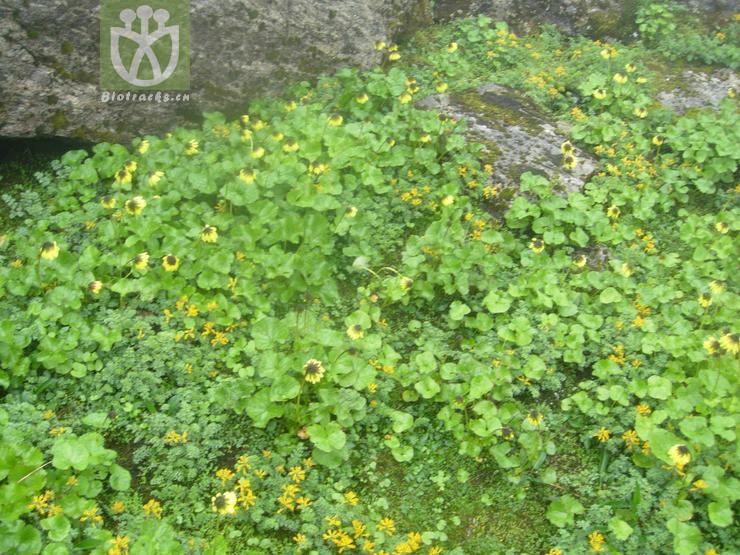 Cremanthodium phyllodineum