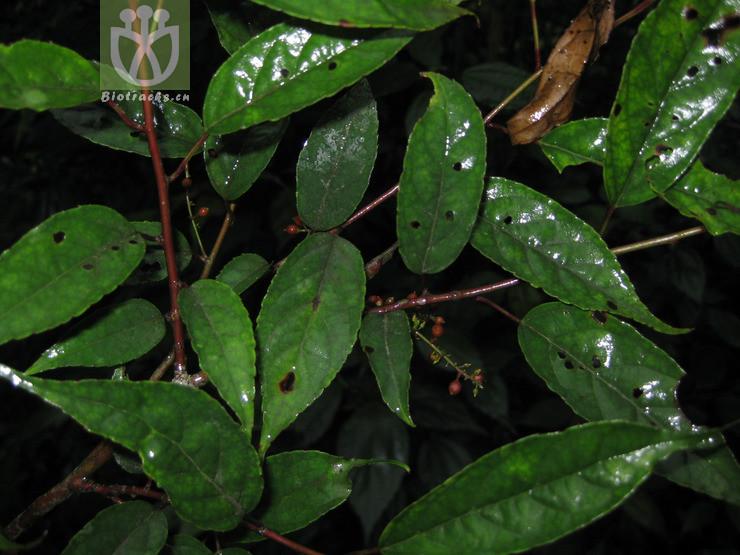 Perrottetia macrocarpa