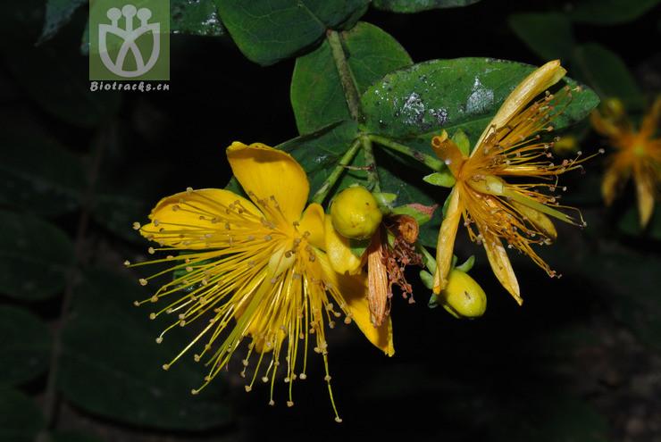 Hypericum hircinum