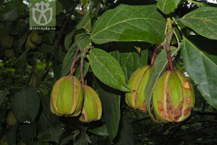 Reevesia pubescens var. siamensis