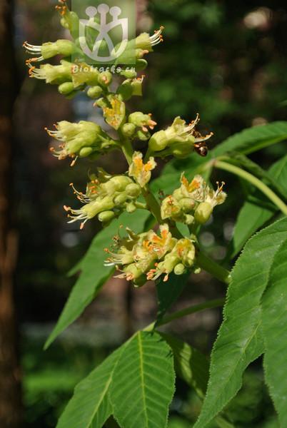 Aesculus glabra