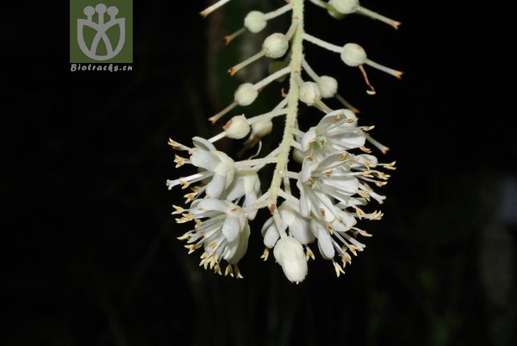 Clethra japonica