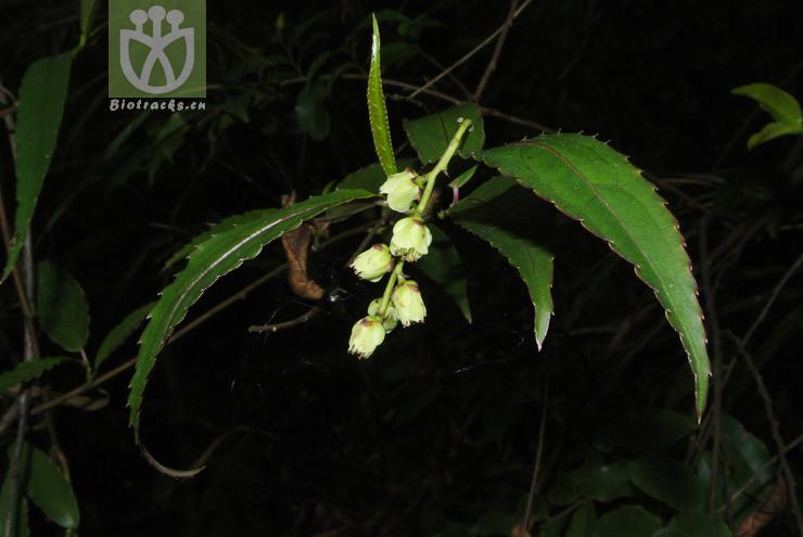 Stachyurus salicifolius var. lancifolius