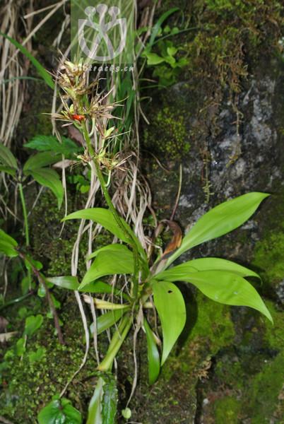 Ypsilandra thibetica