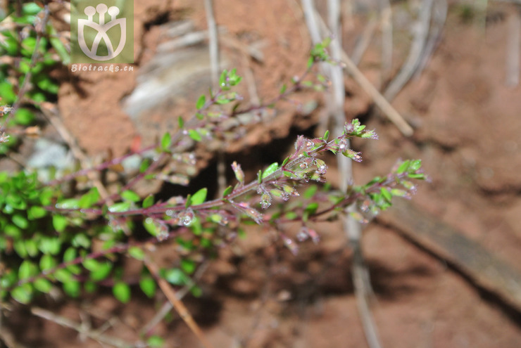 Micromeria biflora