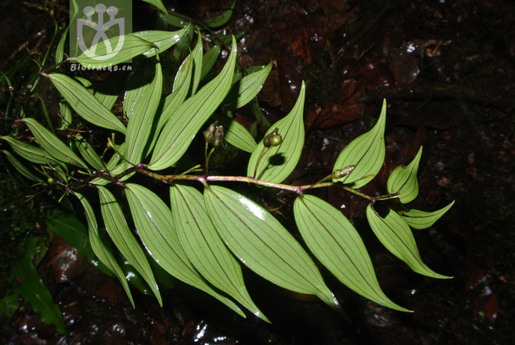 Disporum calcaratum