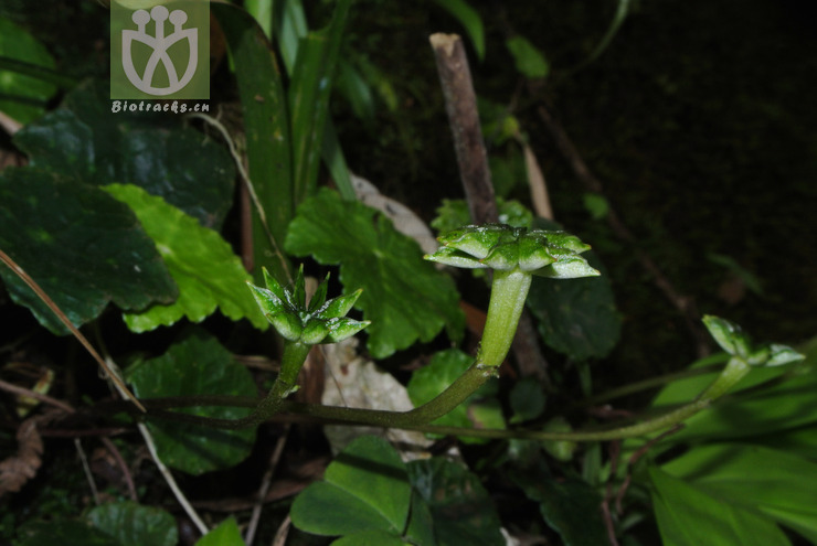 Asteropyrum peltatum