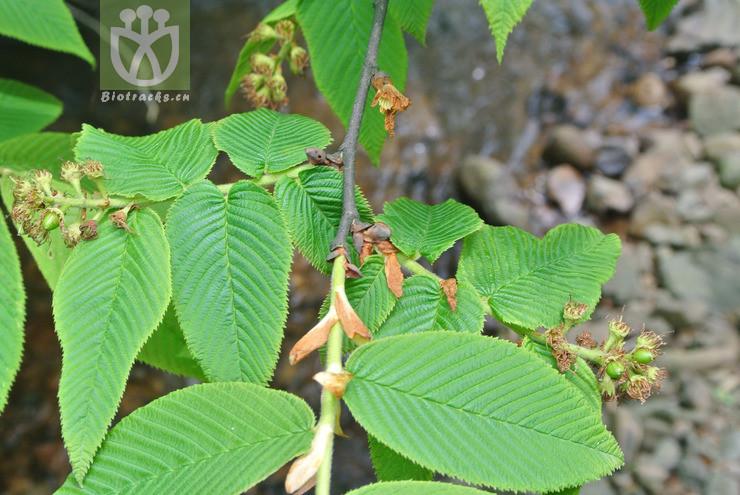 Maddenia hypoxantha