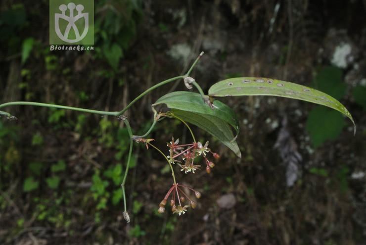Heterosmilax japonica