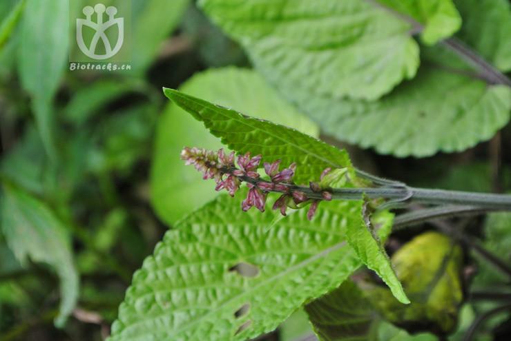 Salvia cavaleriei var. simplicifolia