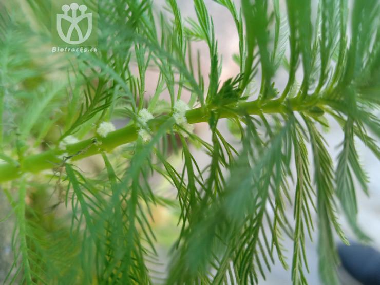 Myriophyllum verticillatum