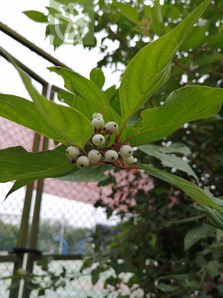 Cornus tatarica var. sibirica