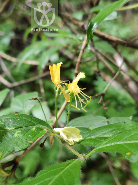 Lonicera chrysantha var. crassipes