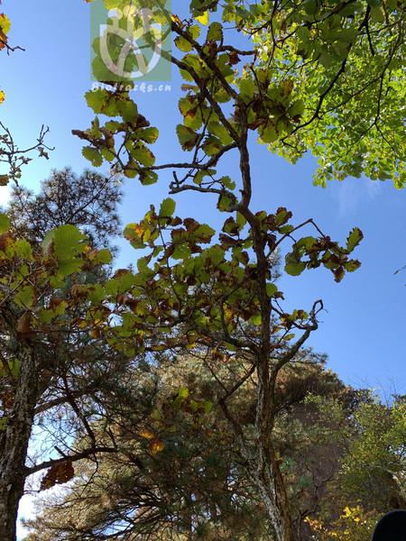 Quercus sp.