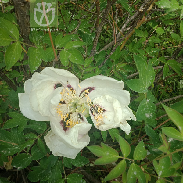 Paeonia jishanensis