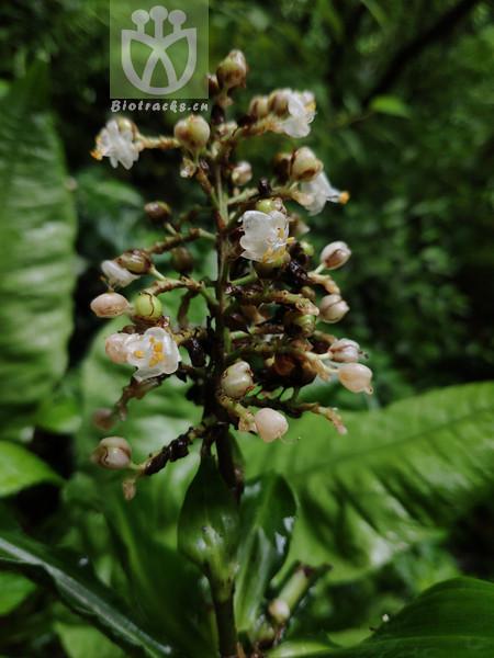 Pollia hasskarlii