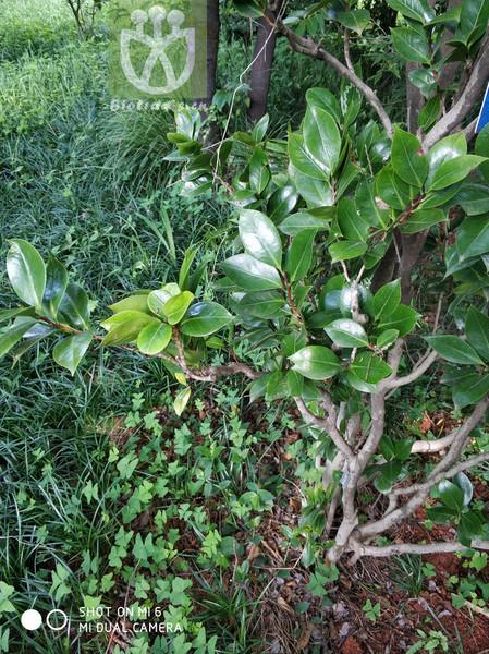 Elaeocarpus borealiyunnanensis