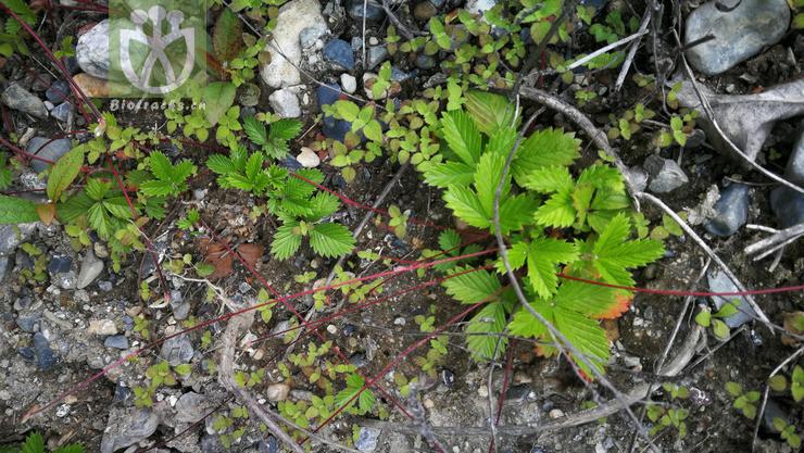 Fragaria grandiflora