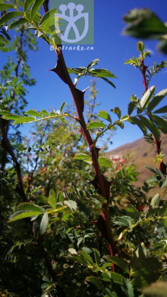 Rubus idaeus subsp. nipponicus