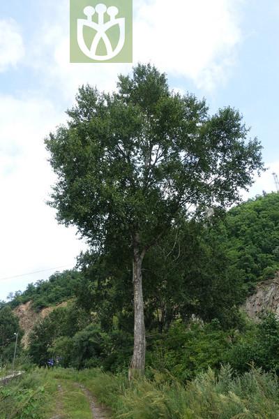 Populus koreana