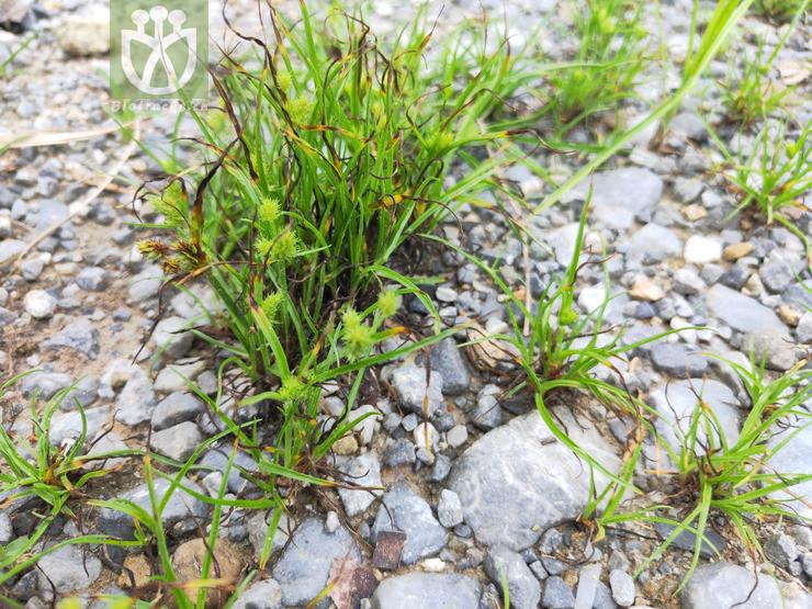 Cyperus angustifolius