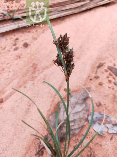 Scirpus obtusifolius