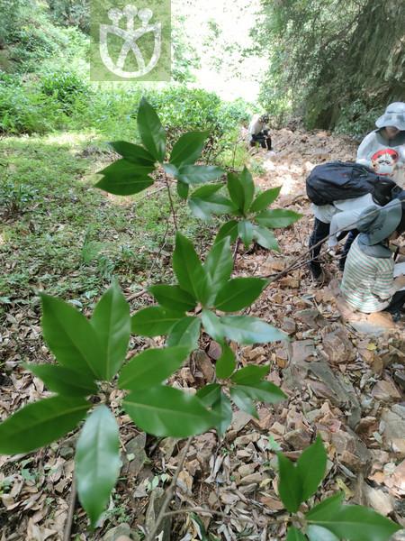 Lindera angustifolia