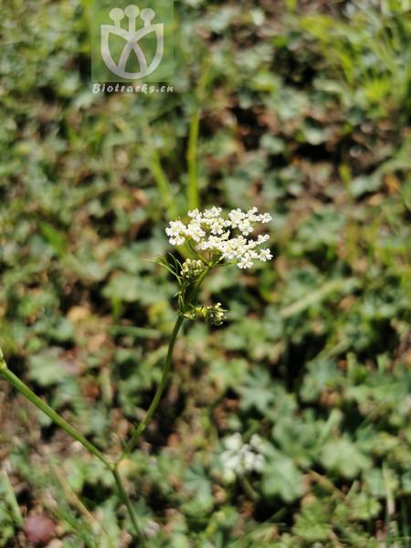 Ligusticum tachiroei